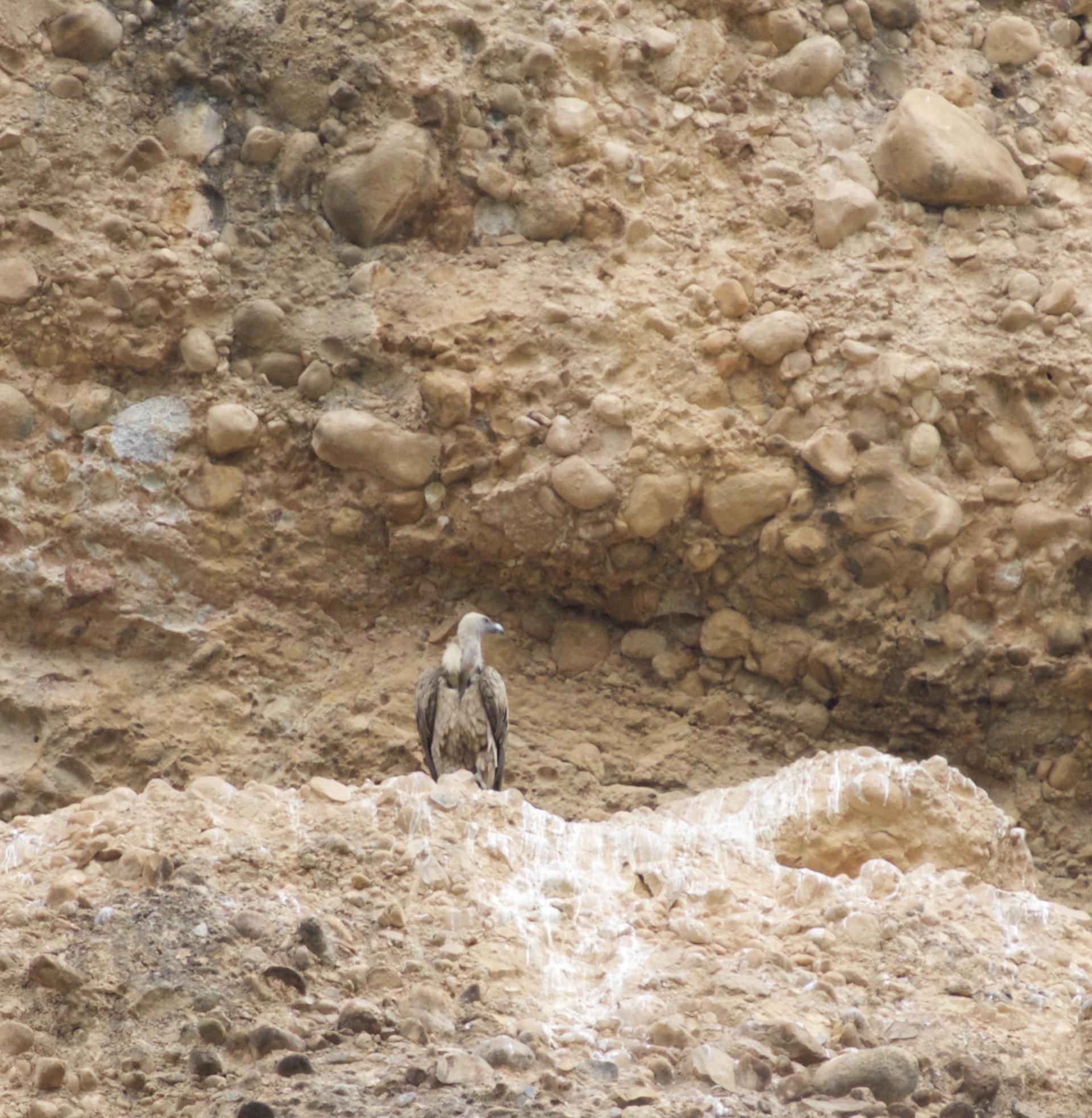 Geier Vögel in den spanischen Pyrenäen